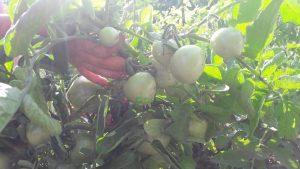 Organic fertilizer for tomatoes