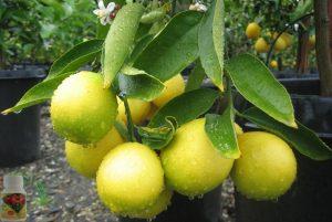 Як виростити лимон з кісточки в домашніх умовах