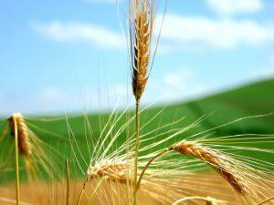 Органічний стимулятор росту: зернові озимі