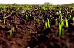 Органический стимулятор роста: зерновые озимые