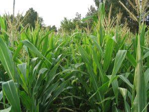 Подкормка для кукурузы: органические удобрения