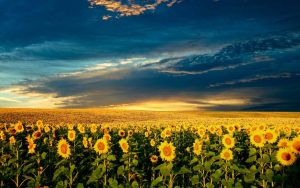Стимулятор росту для соняшника